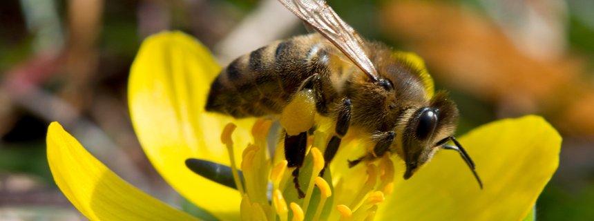 Biene beim Pollensammeln