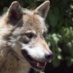 Der Wolf - Bild eines europäischen Wolfes