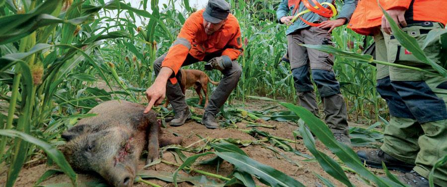 Wildschwein im Mais - Foto: Elke Mross