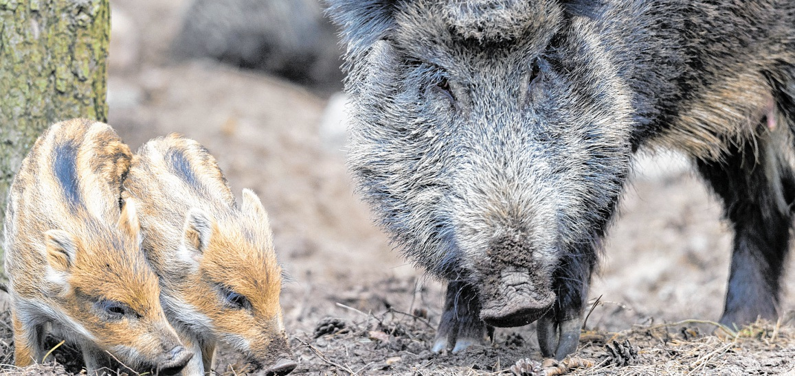 Wildschweine - Foto: Patrick Pleul (DPA)