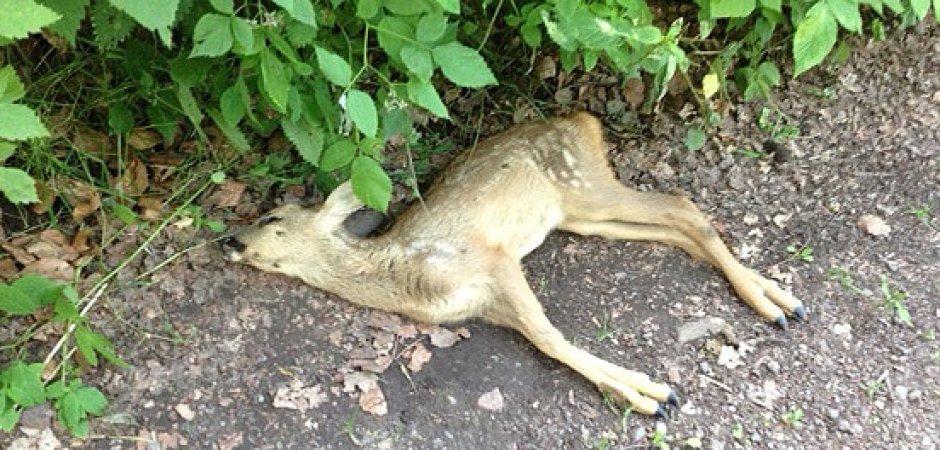 Foto eines toten Rehs