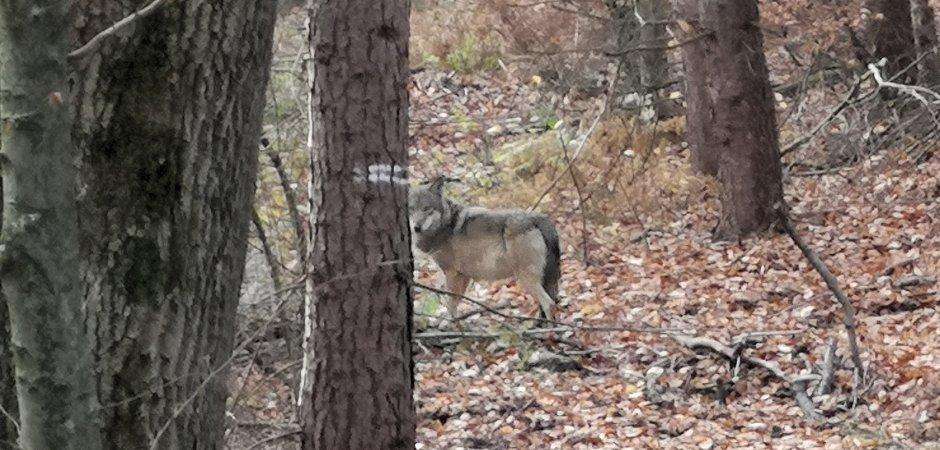 Dieses Foto machte Jägerin Sabine Baschke bei der Drückjagd auf Rot- und Schwarzwild in Hünxe mit ihrem Handy. Wolfsexperte Jos de Bruin ist sich sicher, dass es einen Wolf zeigt.