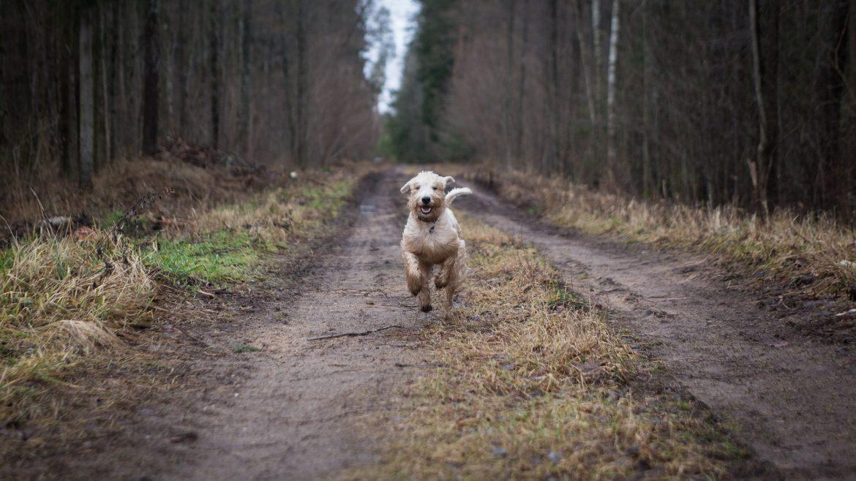 Hund im Galopp auf Waldweg