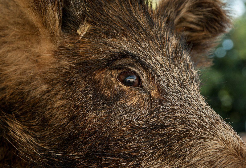 Zeigt Ausschnitt von Wildschweinkopf mit einem Auge
