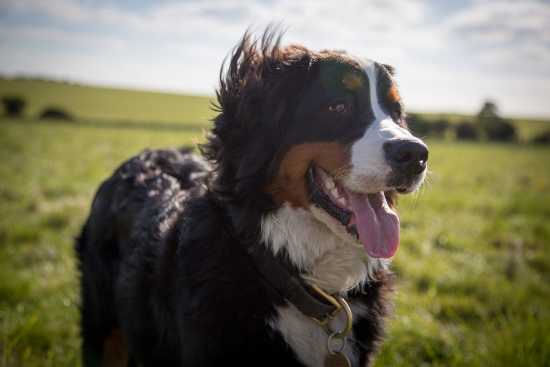 Berner Sennenhund mit hächelnder Zunge vor einer grünen Anhöhe mit blauem Himmel