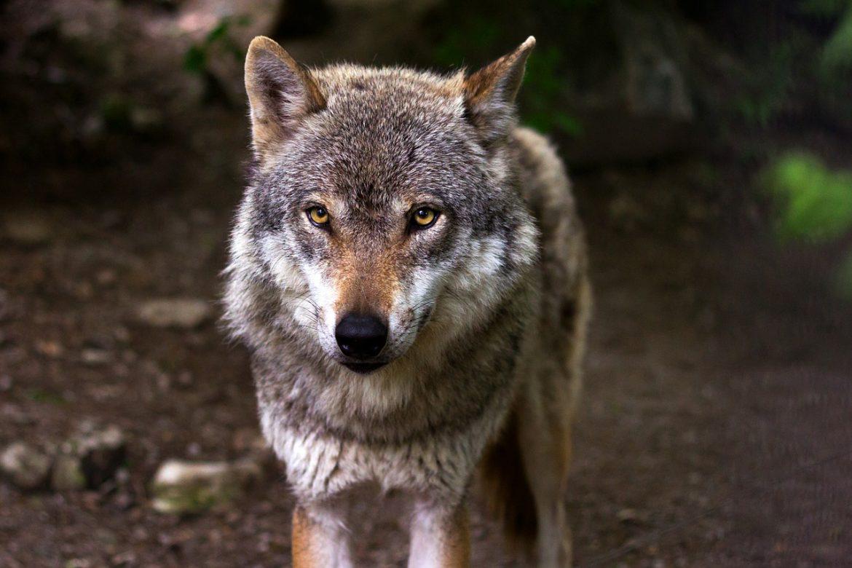Wolf von vorne mit starrem Blick