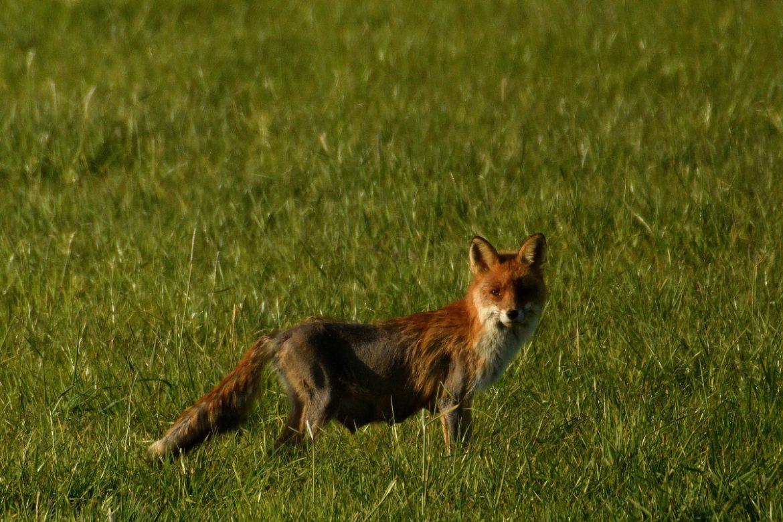 Fuchs mit Fuchsräude 2020 in Rentfort