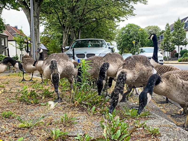 Kanada-Gänse grasen am Straßenrand, im Hintergrund parkende Fahrzeuge